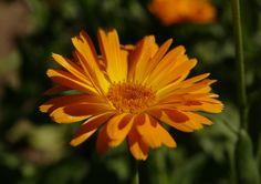 #kwiaty #flowers #garden #ogród #nagietek #marigold