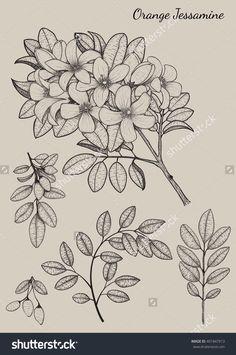 Orange Jessamine Flower By Hand Drawing.Flower Design Elements.Flower Highly Detailed.Flower Vector.Flower Background.Flower Illustration.Flower Tattoo.Flower Vintage.Flower Sketch.Flower Card.Flower - 401847913 : Shutterstock