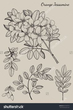Orange Jessamine Flower By Hand Drawing.Flower Design Elements.Flower Highly Detailed.Flower Vector.Flower Background.Flower Illustration.Flower Tattoo.Flower Vintage.Flower Sketch.Flower Card.Flower - 401847913 : Shutterstock