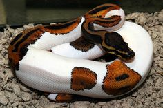 Absolutely beautiful. This is a piebald bald python. Just exquisite.