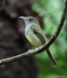 Northern Bentbill Oncostoma cinereigulare Carara NP, Puntarenas province, Costa Rica. A strange little flycatcher found in rainforest from Mexico to Panama. In Eastern Panama and Colombia it is replaced by the very similar Southern Bentbill (below), though it may ultimately prove more logical to consider them conspecific. Northern has a gray face and throat, but there voices are very similar