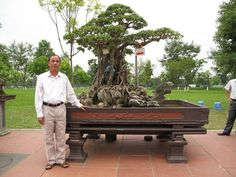 "oldest bonsai tree pictures | Responses to ""Most Expensive Bonsai And Ficus Ginseng"""