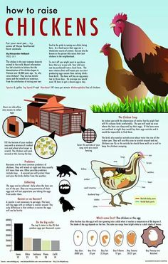 Raising Chickens. Some great general information for the kids and adults.