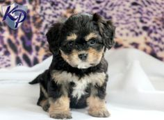 Cutie – Cavachon Puppy www.keystonepuppies.com  #keystonepuppies  #cavachon