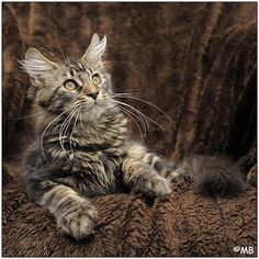 Maine Coon Kitten | © Cattery Dynamicats | The Netherlands | KittenTeKoop.nl