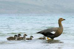 """Upland Goose (Chloephaga picta) female with chicks""  #SunKuWriter #Portugal   http://sunkuwriter.com New Site"