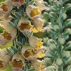Digitalis ferruginea Gelber Herold - 3 plants Buy online order yours now Large Flowers, Garden Plants, Peonies, Bloom, Stuff To Buy, Corner, Inspiration, Poisonous Plants, Medicinal Plants