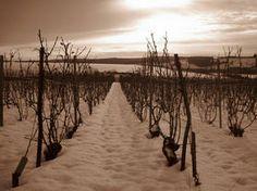 Champagne Lacroix Triaulaire et Fils - Champagne - WineAlley Notre vignoble, établi sur des marnes argilo-calcaires, couvre environ 7 ha sur le village de Merrey-sur-Arce. Il se répartit entre le Pinot Noir pour 50%, le Pinot Meunier pour 40% et le Chardonnay pour 10%. A l'issue de vendanges manuelles, les cépages sont vinifiés séparemment (cépages et parcelles). Les assemblages nous donnent une gamme de 6 vins aux styles différents.