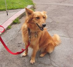 Lizzy's mom said she was a Sheltie mix. If that's so, then I'm going to guess that the other half is golden retriever. She does bear a distinct resemblance to the Finnish Spitz, b… Golden Retriever Mix, Animal Room, Collie Mix, Adorable Dogs, Shetland Sheepdog, Animal Fashion, Mixed Breed, Sheltie, Dog Days