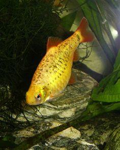 Golden Barb (Barbus Schuberti) - Adult size: 4 inches. Origin: Asia / China