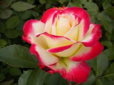 Cherry Parfait rose - pretty pretty! i can schmell it from here!