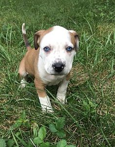 Terrier Mix Fort Wayne, IN - American Pit Bull Terrier. Meet Hawk a Dog for Adoption. Bull Terrier Mix, Pitbull Terrier, Terrier Dogs, American Pit, Dogs And Puppies, Dogs 101, Fluffy Puppies, Doggies, Animales