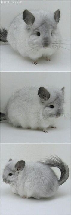 not a rodent fan. but I am sooo obsessed with chinchillas right now. Are they not the cutest little fluffys!I'm not a rodent fan. but I am sooo obsessed with chinchillas right now. Are they not the cutest little fluffys! Chinchillas, Hamsters, Rodents, Fluffy Animals, Cute Baby Animals, Animals And Pets, Vida Animal, My Animal, Chinchilla Baby