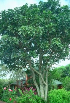 African Tree for Garden. African Tree, African Plants, Plant Design, Garden Design, Medical Office Design, Ash Tree, Clinic Design, Garden Trees, Pathways