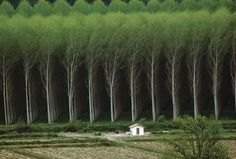 Photograph:People grow eucalyptus trees for their wood and oil. The leaves of some kinds of eucalyptus contain an oil used in medicines.