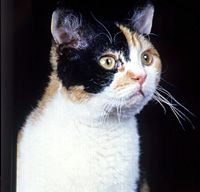 Traits of The American Wirehair Cat