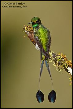 A Booted Racket-tail hummingbird (Ocreatus underwoodii) perched on a branch in the Tandayapa Valley of Ecuador by Glenn Bartley