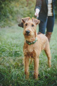 Hadley the Irish Terrier; photo by http://www.tamtopia.com/
