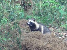 TANUKI. Japanese raccoon dog. - [ Learn Japanese Words with Pinterest by webjapanese.com ]