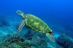green-sea-turtle11.jpg (480×319)