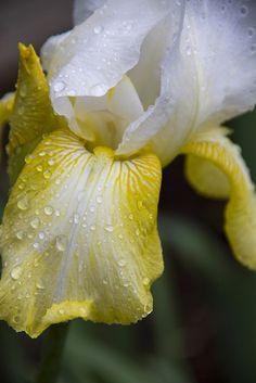 Iris rain