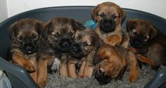 border terrier puppies I want them all! A herd of Borders