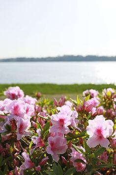 佐鳴湖のツツジ Azalea and Lake Sanaru Hamamatsu, Japan, City, Plants, Wanderlust, Backgrounds, Cities, Plant, Japanese
