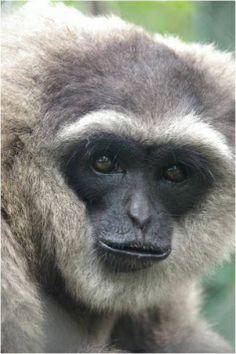Javan Gibbon /silver gibbon/ http://en.wikipedia.org/wiki/Silvery_gibbon