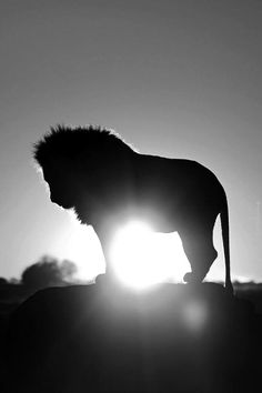 I am King. Lion of Judah is on the throne. King of kings. Wild Animal Wallpaper, Lion Wallpaper, Heart Of A Lion, Lion Love, Lion Photography, World Photography, Orcas, Lion Facts, Wild Lion