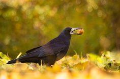 Raven by RobertAdamec #animals #animal #pet #pets #animales #animallovers #photooftheday #amazing #picoftheday