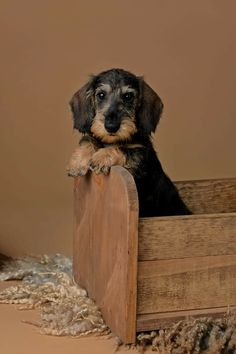 Dachshund Wirehaired Puppy
