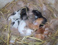 How to Care for Newborn Rabbits in 6 Steps. just in case Rabbit Nest, Rabbit Baby, All About Rabbits, Farm Animals, Cute Animals, Female Rabbit, Meat Rabbits, Bunny Rabbits, Rabbit Pictures