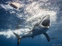9 REASONS TO DIVE WITH GREAT WHITE SHARKS IN GUADALUPE