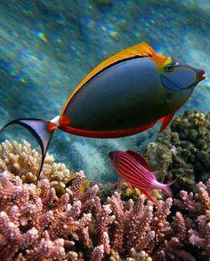 # Blonde Naso Tang - Coral Reef Fish
