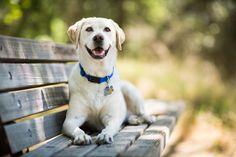 Best Large Dog Breeds, Most Popular Dog Breeds, Best Dog Breeds, Best Dogs, Labrador Retrievers, Golden Retrievers, Family Friendly Dogs, Friendly Dog Breeds, Smartest Dog Breeds