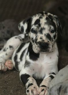 Catahoula Leopard Dog  We almost got one of these dogs a few weeks ago.