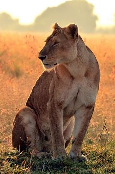 Lioness. BelAfrique your personal travel planner - www.BelAfrique.com
