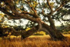 "Photo by Julianne Skai Arbor/TreeGirl ""Sundrenched Stafford Oak II,"" an Oregon white oak Julianne Skai Arbor found in Novato's Stafford Lake Park."