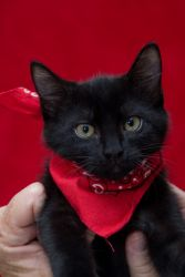Ladybug (Courtesy Listing) is an adoptable Domestic Medium Hair-Black Cat in Baton Rouge, LA. This sweet, adorable black beauty will capture your heart. She is a lap kitty, full of spunk, that loves t...