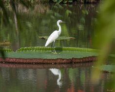 2013 Photograph, Little Egret (Egretta garzetta) on Victoria Lily Pad, King Rama IX Royal Park, Prawet, Bangkok, Thailand, © 2013.  ภาพถ่าย ๒๕๕๖ นกยางเปีย บนบัววิกตอเรีย สวนหลวง ร.๙ เขตประเวศ กรุงเทพ ประเทศไทย