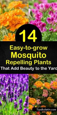 Discover how to use plants as a mosquito repellent in the yard. If you prefer not using commercial insect repellents, keep mosquitoes away with mosquito-repelling plants such as rosemary, lemon balm, marigolds, and geraniums. Plants That Repel Bugs, Cool Plants, Citronella, Outdoor Plants, Garden Plants, House Plants, Marigolds In Garden, Backyard Plants, Outdoor Flowers