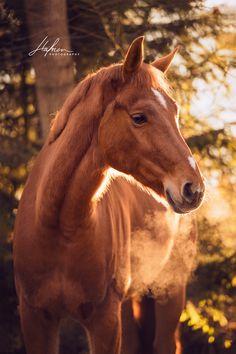 Pferd in der Farbe Fuchs wird von der Morgensonne angestrahlt | Pferd | Bilder | Foto | Fotografie | Fotoshooting | Pferdefotografie | Pferdefotograf | Ideen | Inspiration | Pferdefotos | Horse | Photography | Photo | Pictures