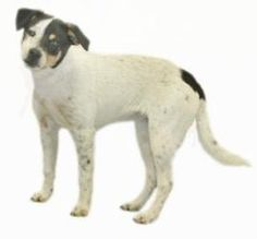 KATIE...352-746-8400 is an #adoptable Jack Russell Terrier Dog in #Inverness, #FLORIDA.   Our small adoption fee includes: spay/neuter, vaccinations, microchip, worming, flea pill, blood test,   and free obed... ------- click pic to read more ---- this is a kill shelter trying very hard not to be