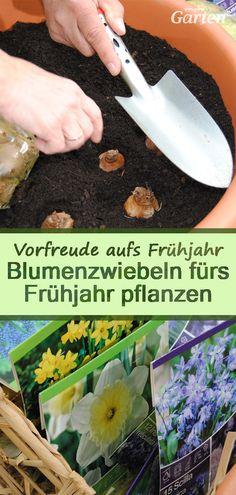 Im #September, #Oktober, spätestens im #November wird es Zeit, die Blumenzwiebeln und -knollen einzubuddeln. Wie tief kommen Zwiebeln und Knollen in die Erde? Was ist zu beachten? Garden Trowel, Garden Tools, Mdr Garten, September, Outdoors, Gardening, Vegetable Garden, Planting Bulbs, Earth