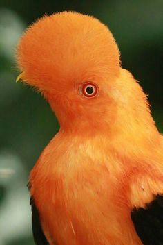Andean Cock-of-the-rock (Rupicola peruvianus sanguinolentus) . Beautiful Creatures, Animals Beautiful, Cute Animals, Most Beautiful Birds, Pretty Birds, Exotic Birds, Colorful Birds, All Birds, Love Birds