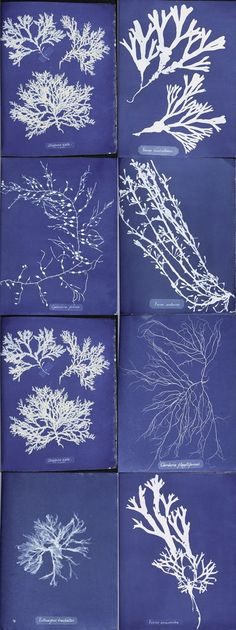 Photographs of British Algae by Anna Atkins (1799-1871) is a landmark in the histories both of photography and of publishing: the first photographic work by a woman, and the first book produced entirely by photographic means. Instantly recognisable today as the blueprint process, the cyanotypes lend themselves beautifully to illustrate objects fround in the sea.
