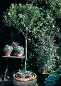 Olivier entretien taille et maladies des oliviers for Savoir jardiner