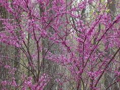 eastern redbuds are my favorite spring tree