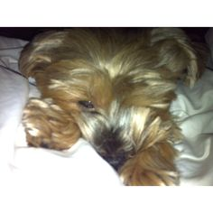 Do I have to wake up? #yorkie #browni