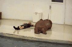 A walrus doing sit-ups: